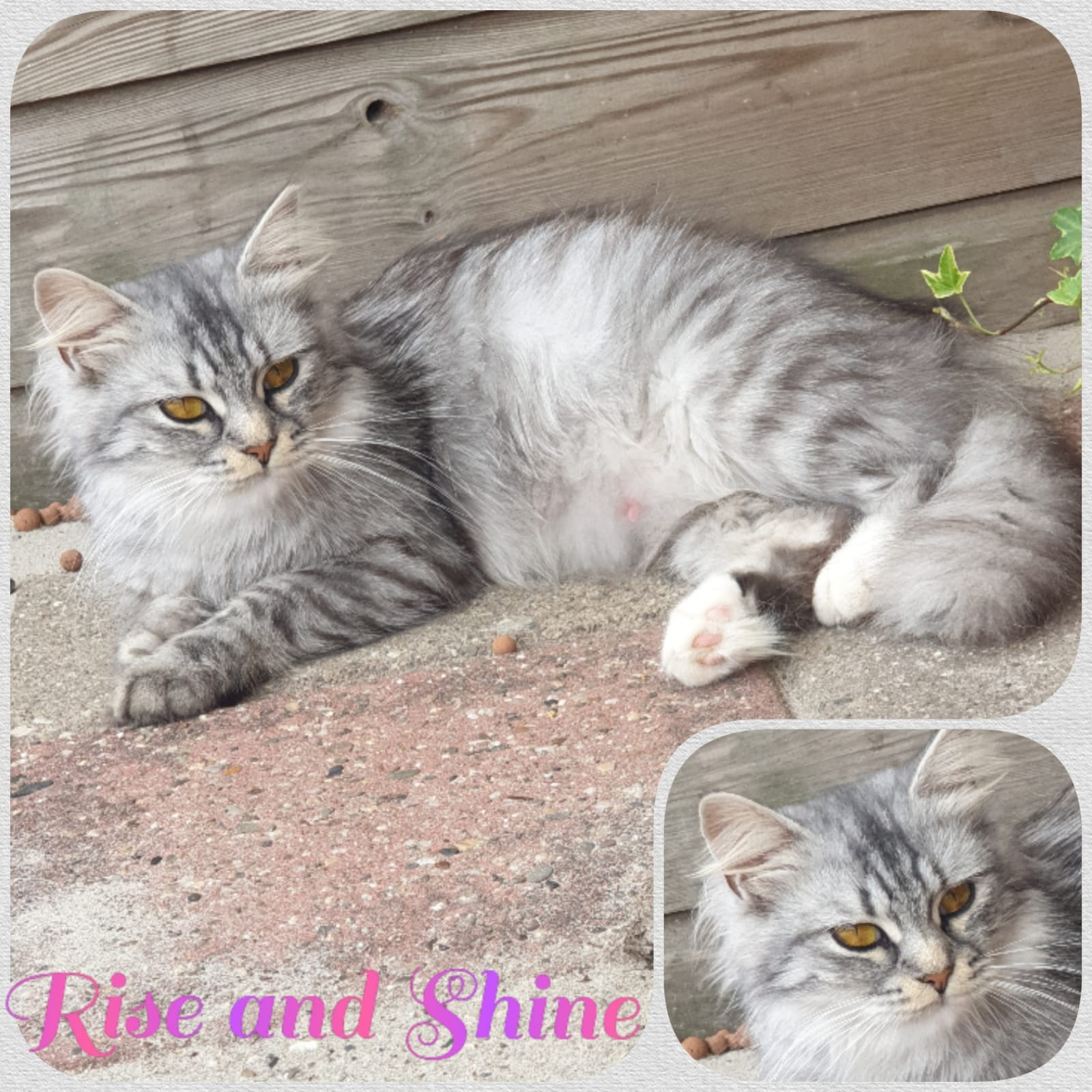 JaiDje's Rise and Shine - Siberian female, black silver  tabby mackerel with white